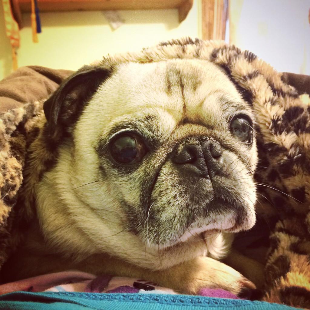 Cozy Pug