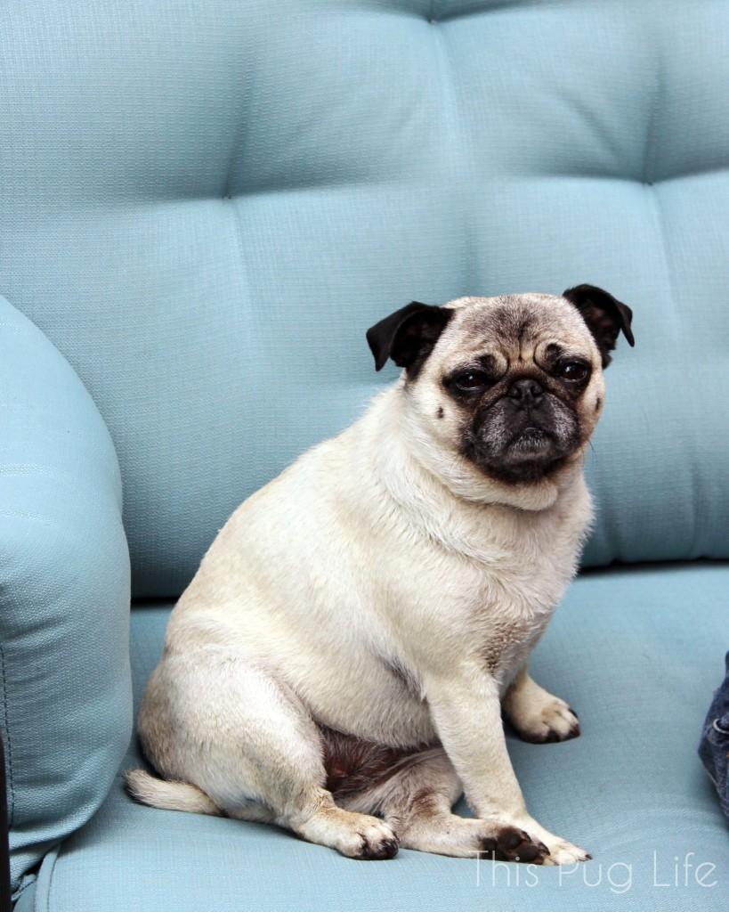 Pug Dirty Look