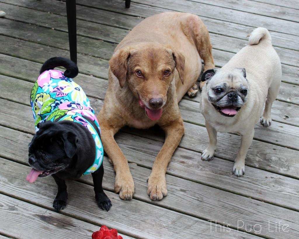 Pug Party Dress