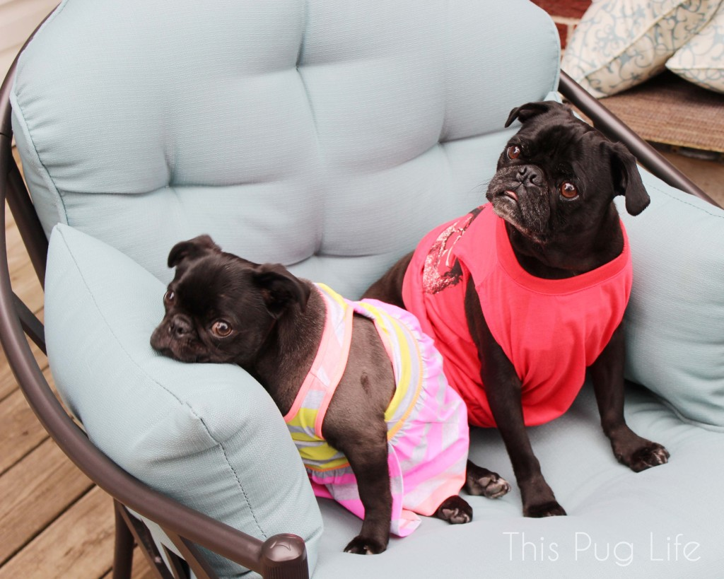 Pugs in Chair