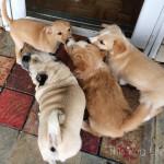 Puppies Love Pug
