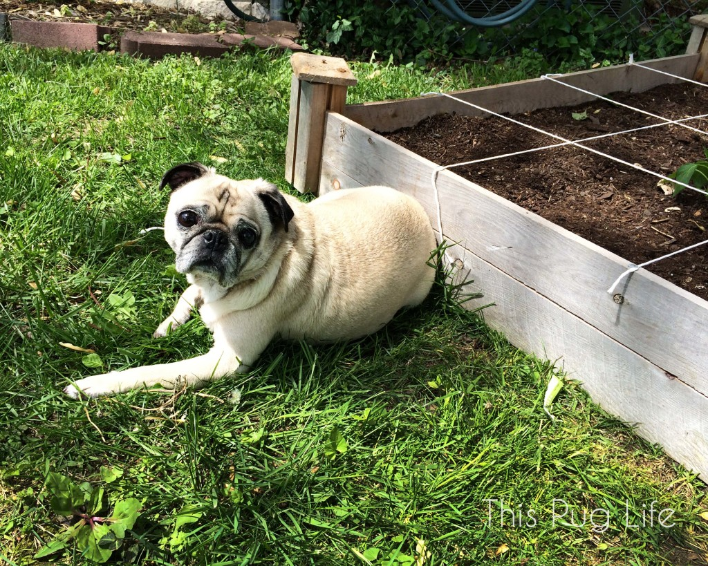 Square Foot Garden Pug