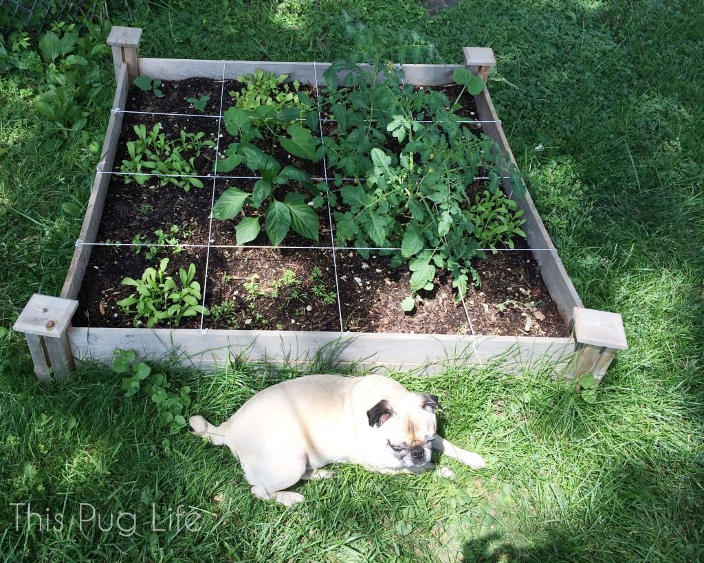 Farmer Pug