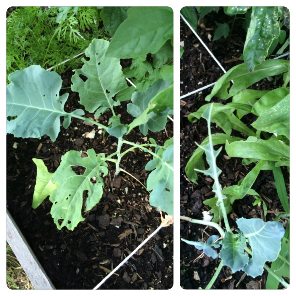 Broccoli Pests