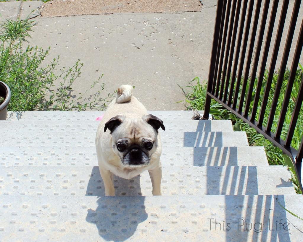 Pug Stairs2