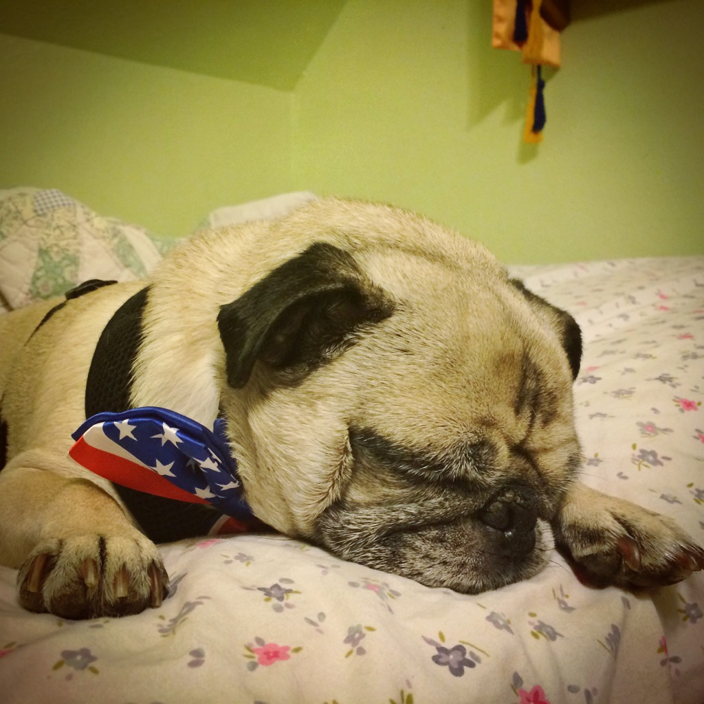 Passed Out Pug