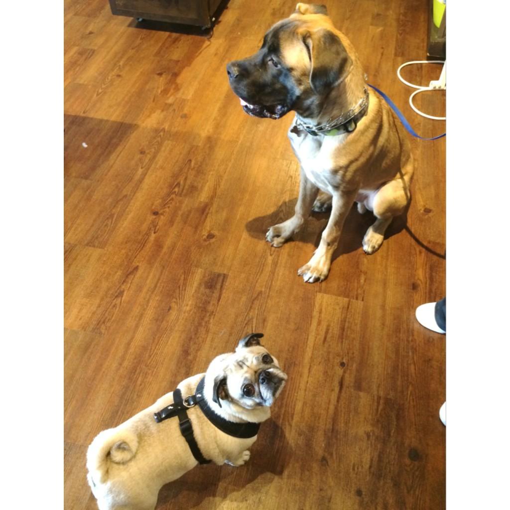 Pug and English Mastiff