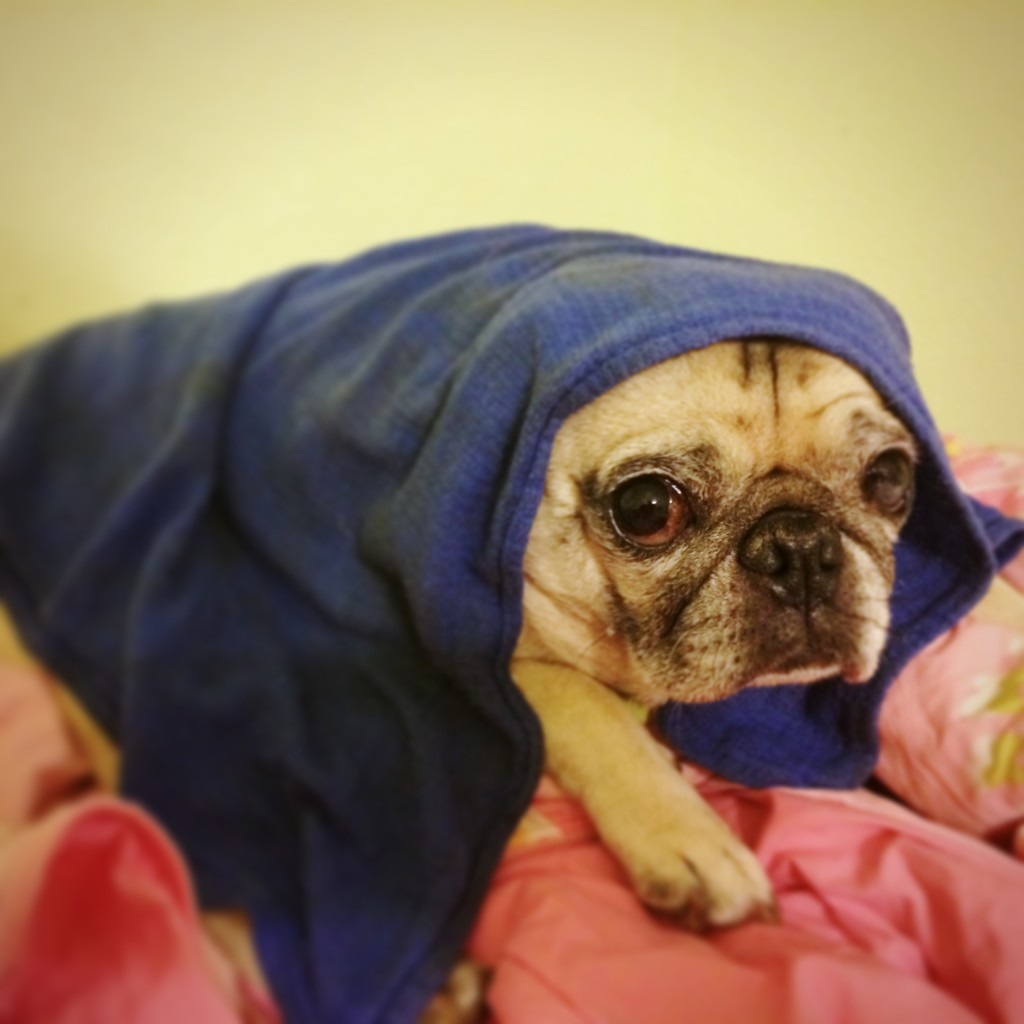 Hot Pug Wet Towel