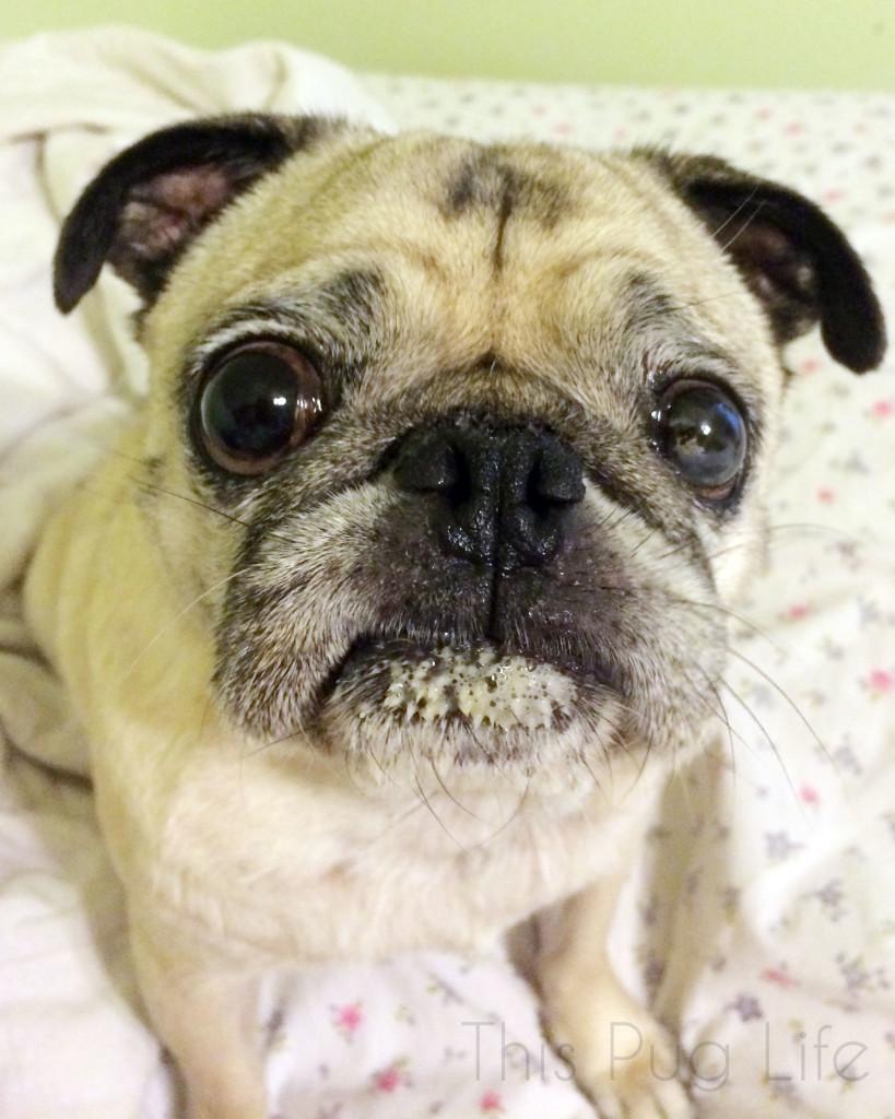 Pug Ice Cream Face