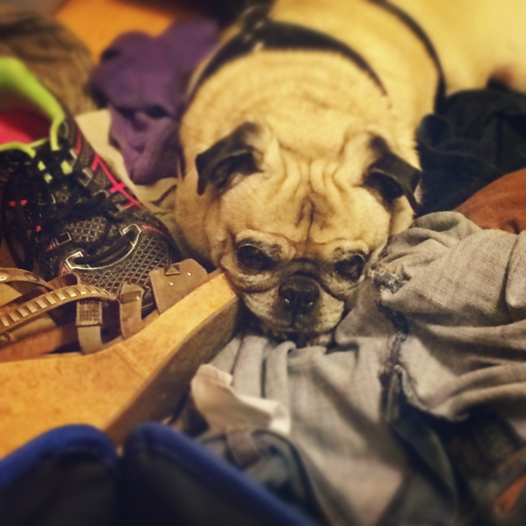 Pug in a pile of clothes