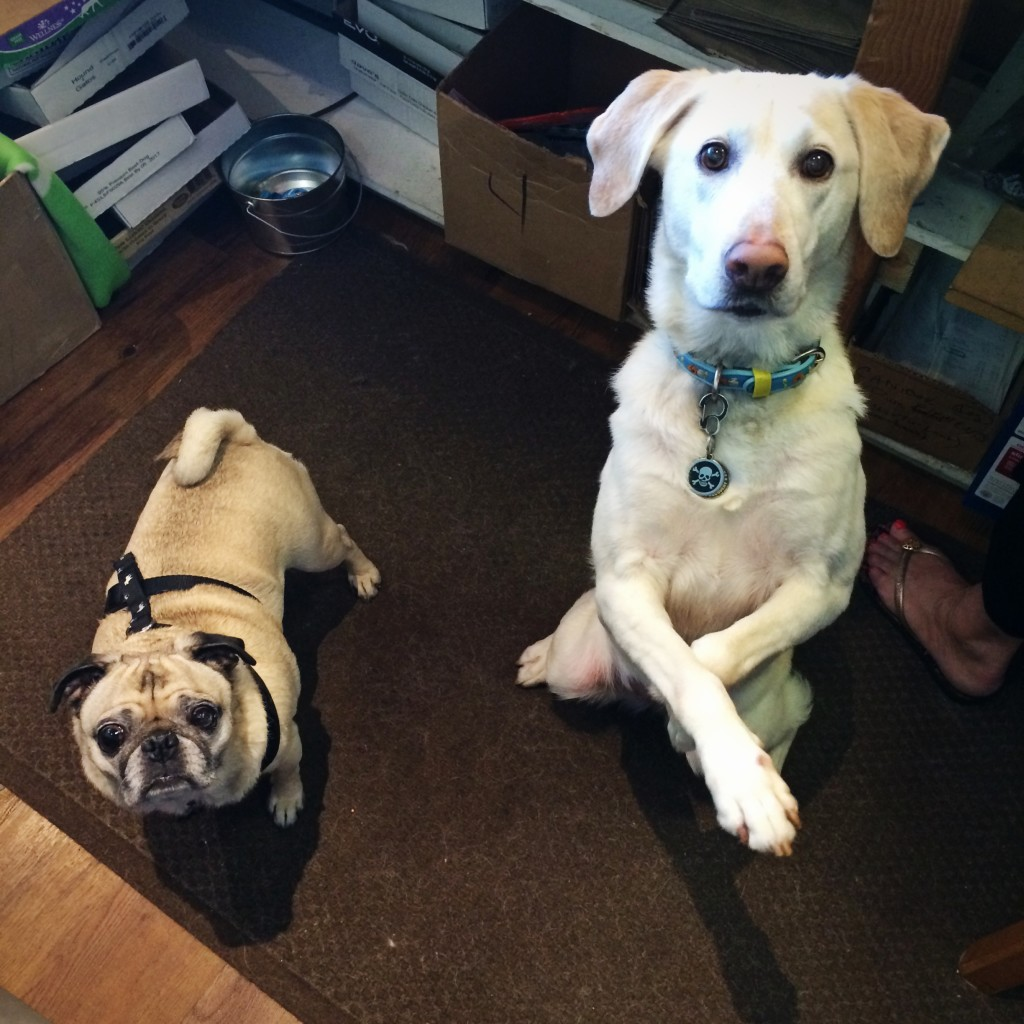 Pug and Yellow Lab
