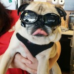Pug Wears His Sunglasses at Night