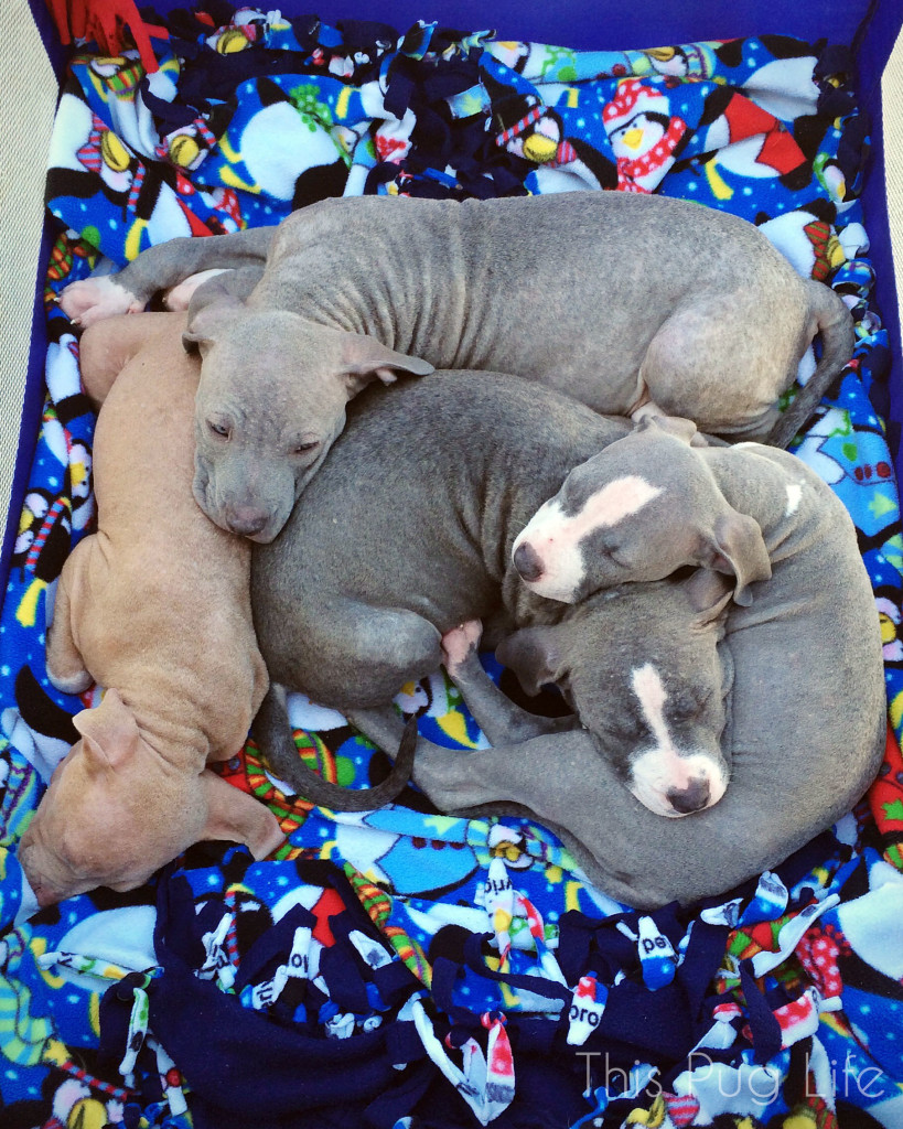 Stray Rescue Pit Bull Puppies