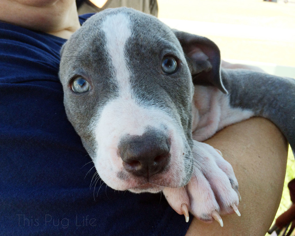 Stray Rescue Pit Bull Puppy