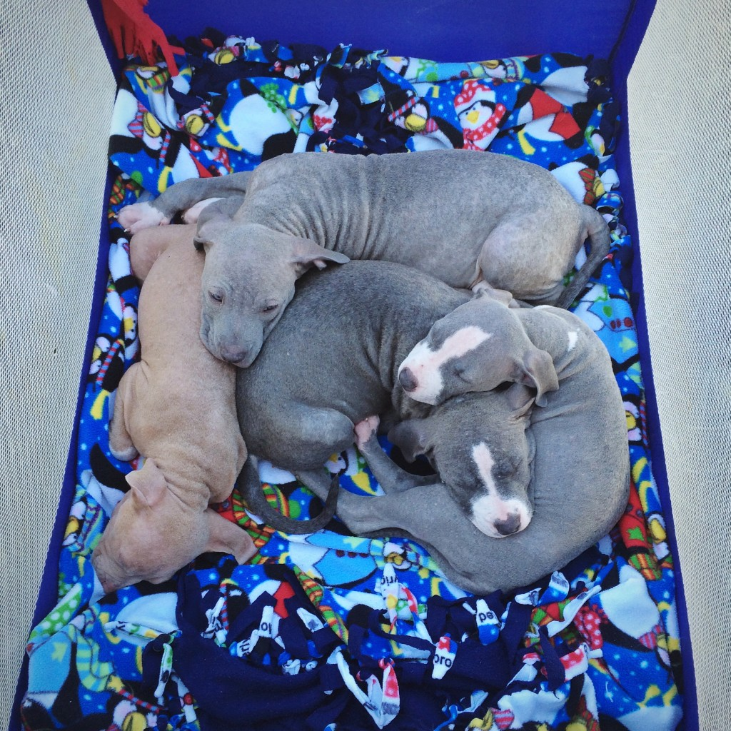 Pit Bull Puppy Pile