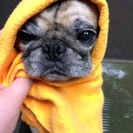 Pug Gets a Bath, Goes Crazy