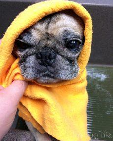 Pug Bath