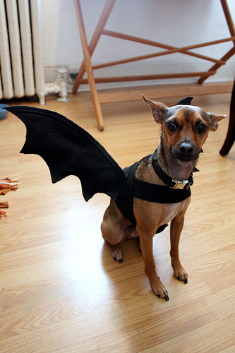 13 diy halloween costumes for dogs this pug life dog bat costume solutioingenieria Choice Image