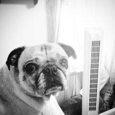 Pug Sneeze