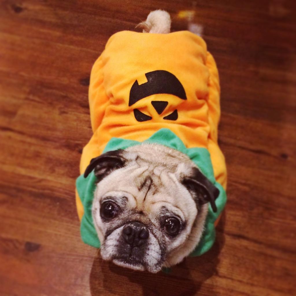 Pug Pumpkin Costume