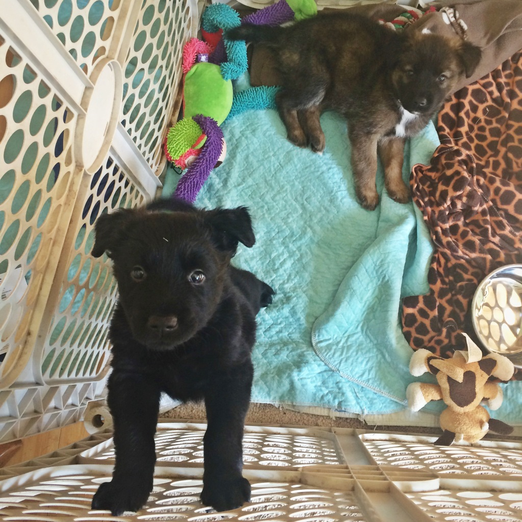 Stray Rescue Foster Puppies