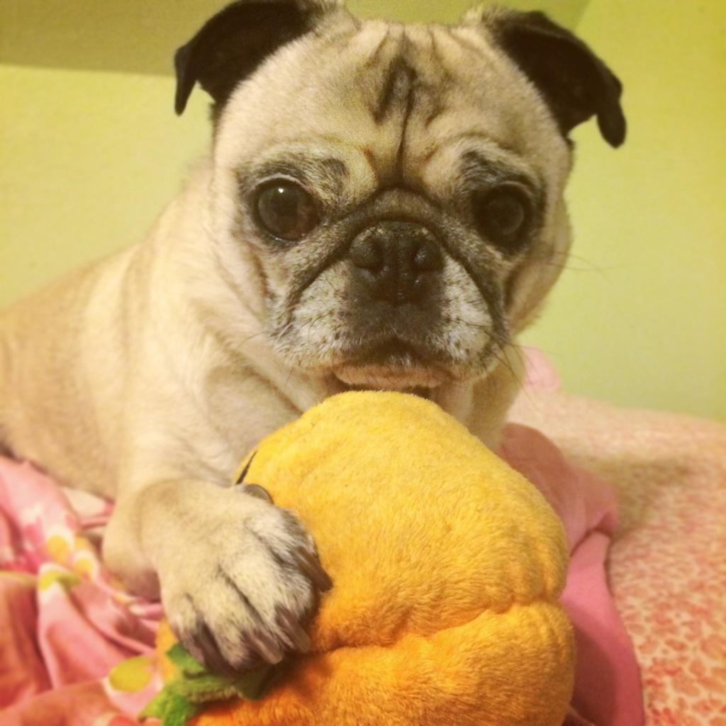 Pug Pumpkin Toy