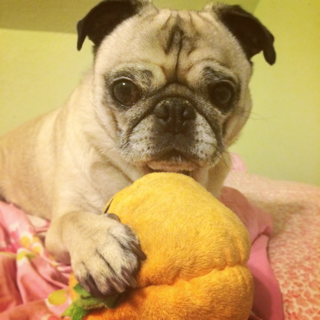Pug Pumpkin Toy