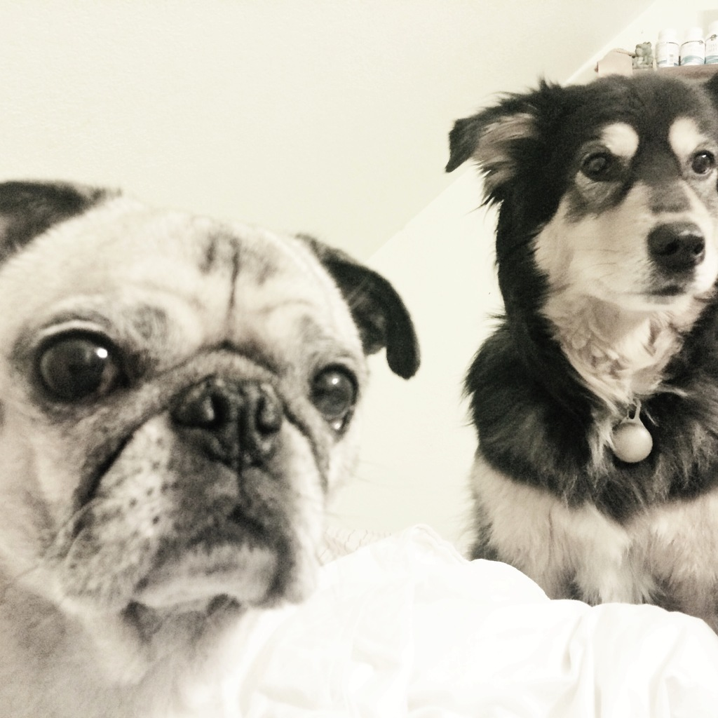 Pug and Molly Staredown