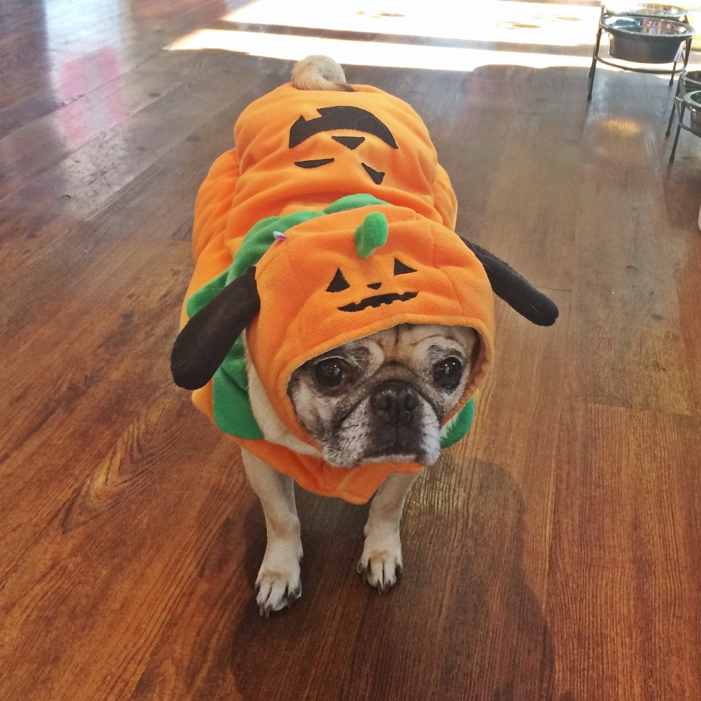 Pug Pumpkin King