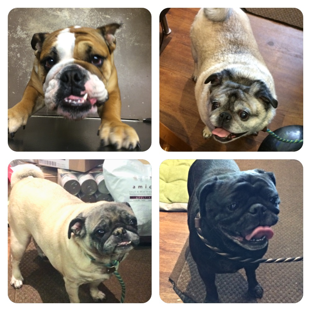 Pugs and Bulldog