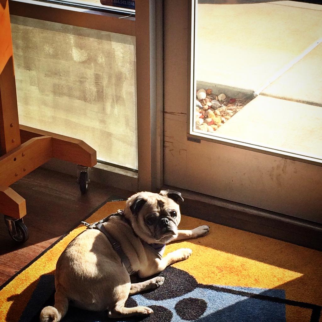 Pug Sun Spot