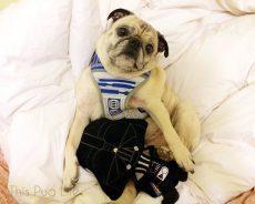 Jabba The Pug