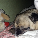 Sharing a Bed with Pug