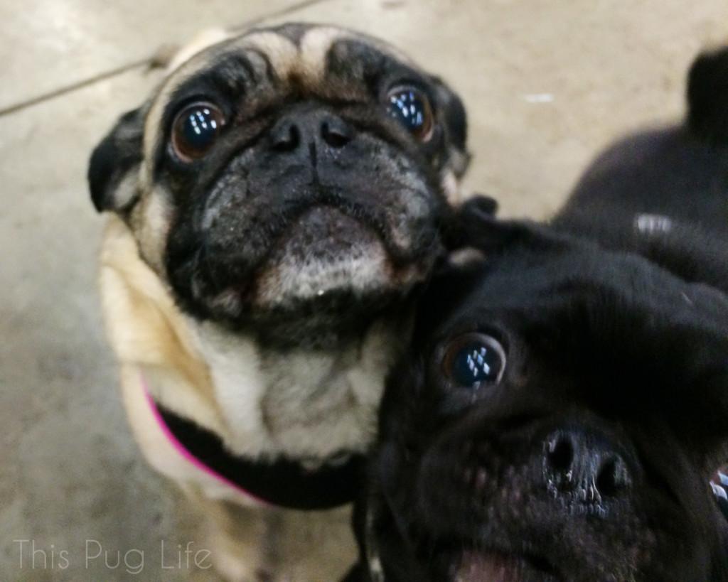 Begging Pugs