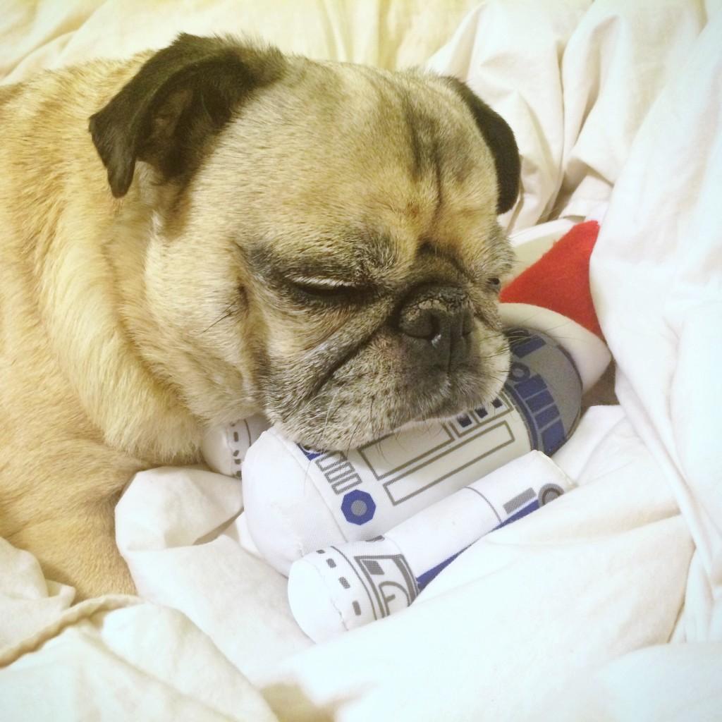 Pug with R2D2