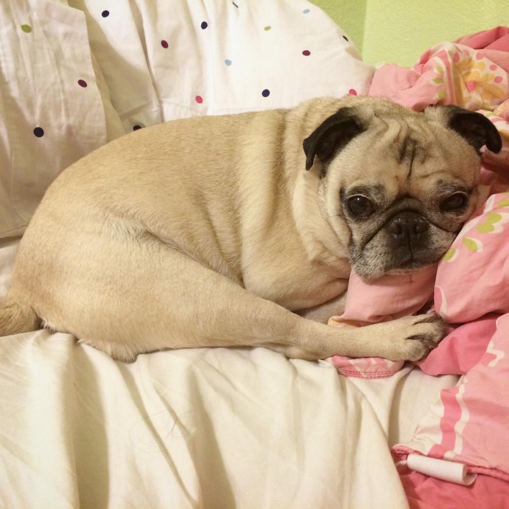 Lazy Pug Drumstick