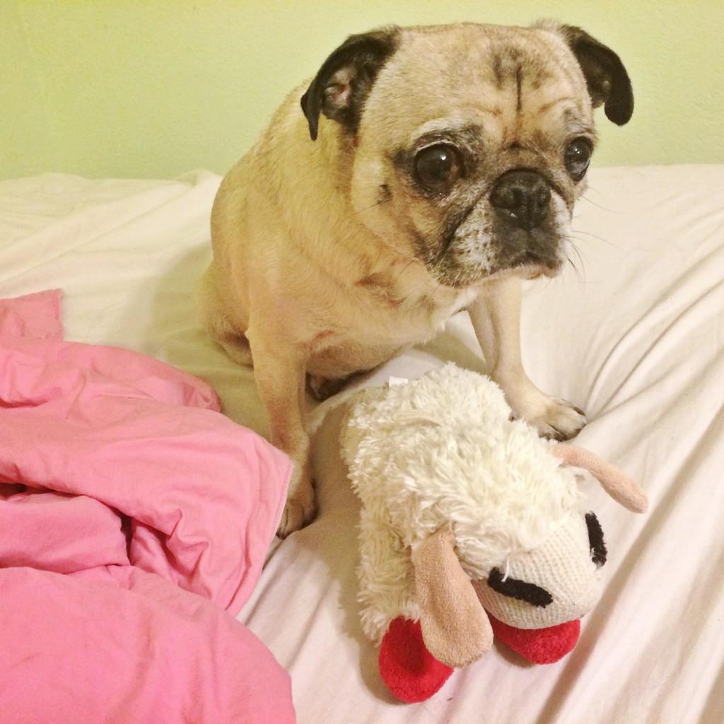 Pug and Lamb Chop