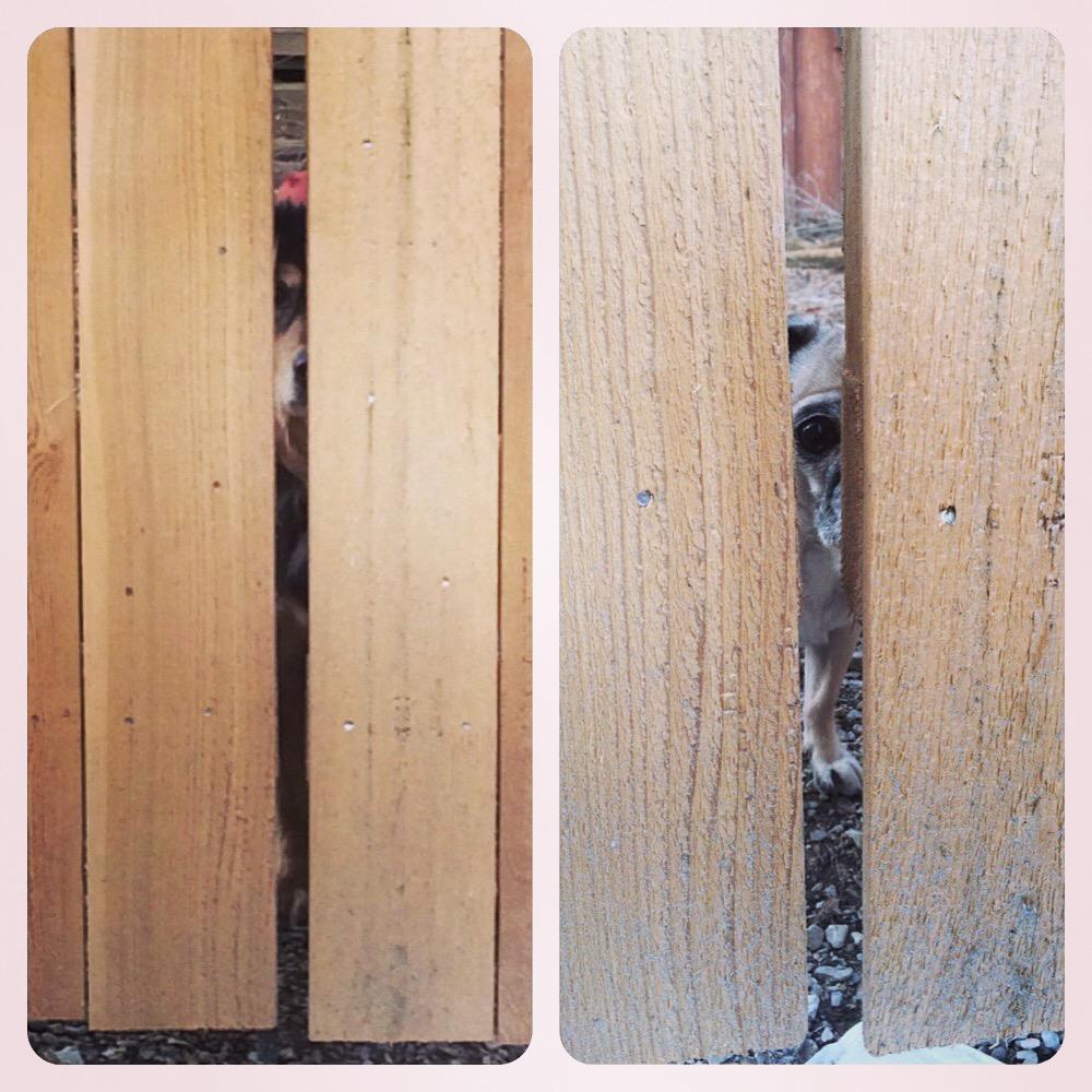 Pug Fence Peeper