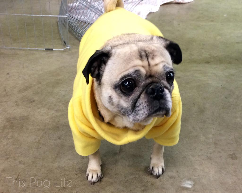 Pug Costume Fitting