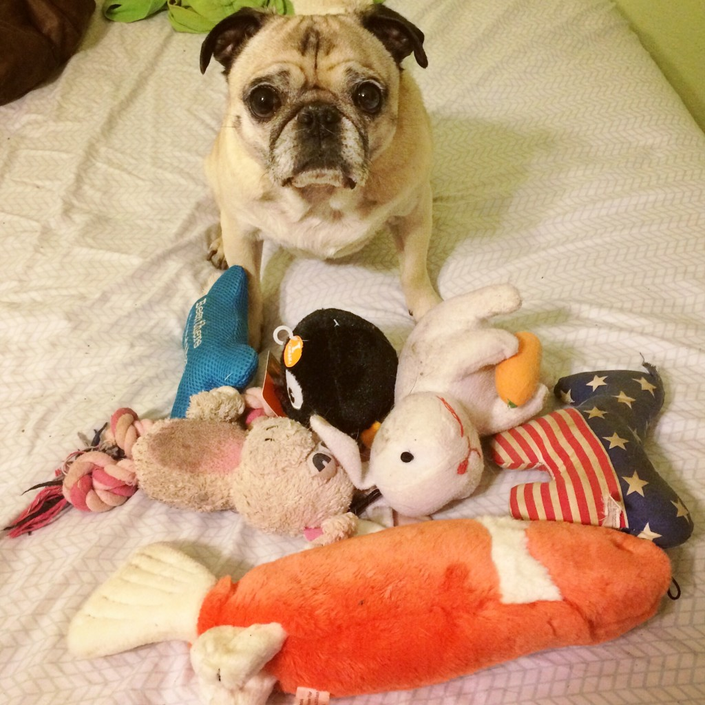 Spoiled Pug