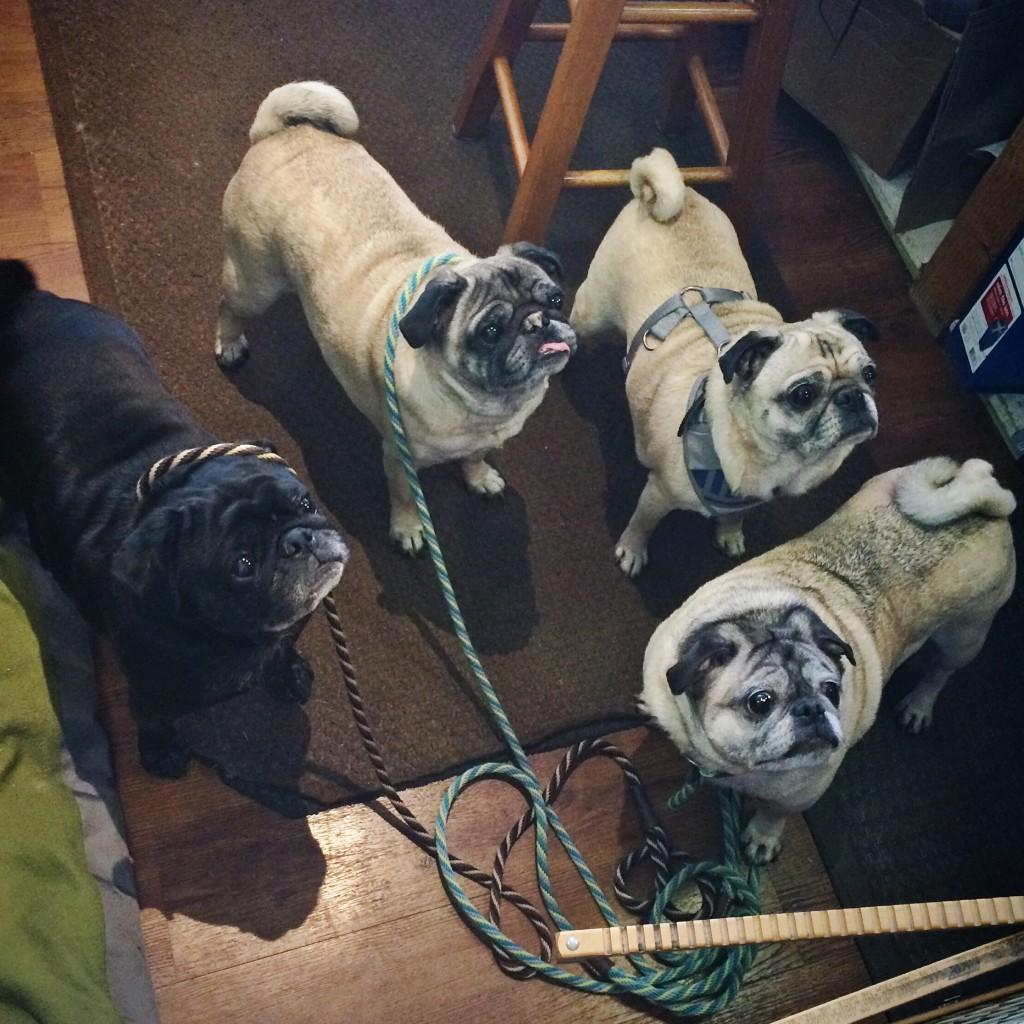 Pack of Pugs