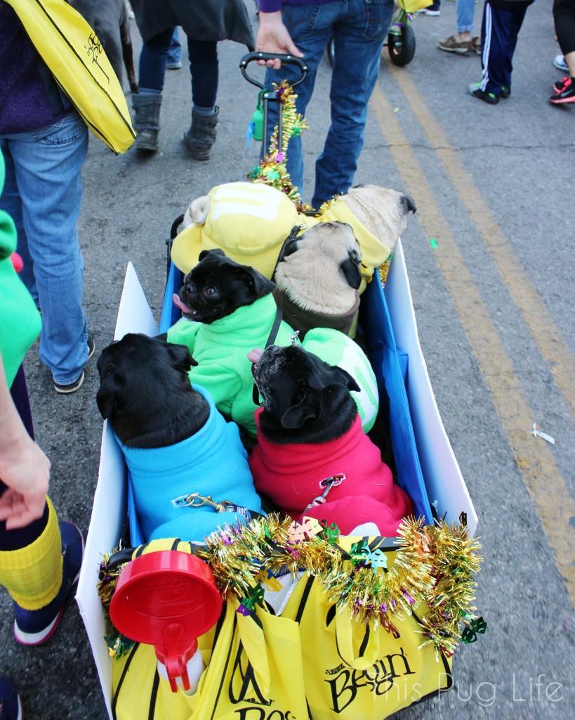 M&M Pugs at the Beggin' Pet Parade 2015