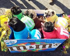 M&M Pugs at the Beggin' Pet Parade 2015