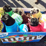 M&M Pugs at the 2015 Beggin' Pet Parade