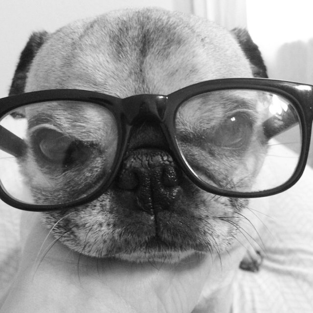 Pug Harry Caray Glasses