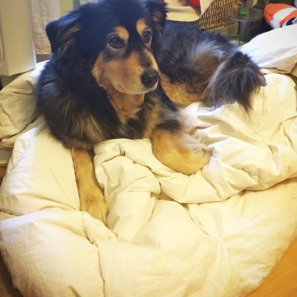 Dog Stealing Blanket