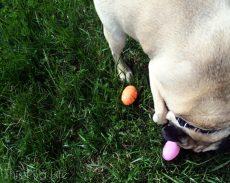 Pug Easter Egg Hunt