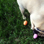 Pug's Easter Egg Hunt 2015