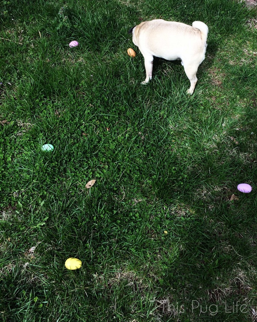 Pug Easter Egg Hunt
