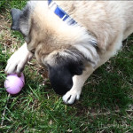 Pug's Easter Egg Hunt Video